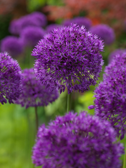 allium purple sensation quality flower bulbs youtulip. Black Bedroom Furniture Sets. Home Design Ideas
