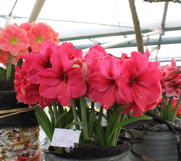 Amaryllis Pink Surprise