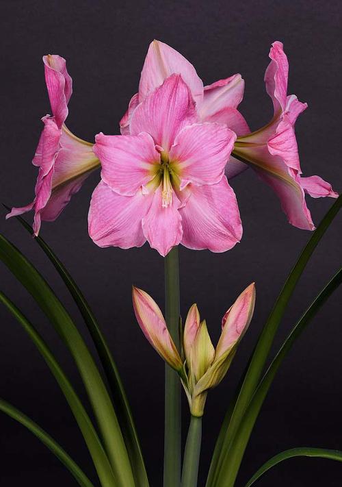 Amaryllis sweet star quality flower bulbs for Amaryllis sweet pink