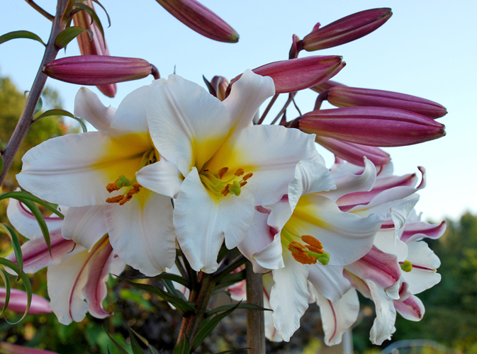 lilium regale planting instructions