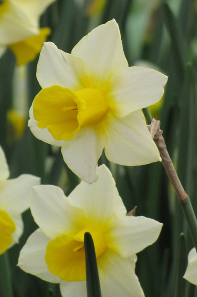 Daffodil Golden Echo