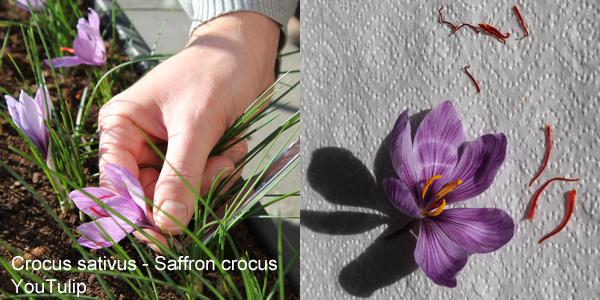 Crocus sativus