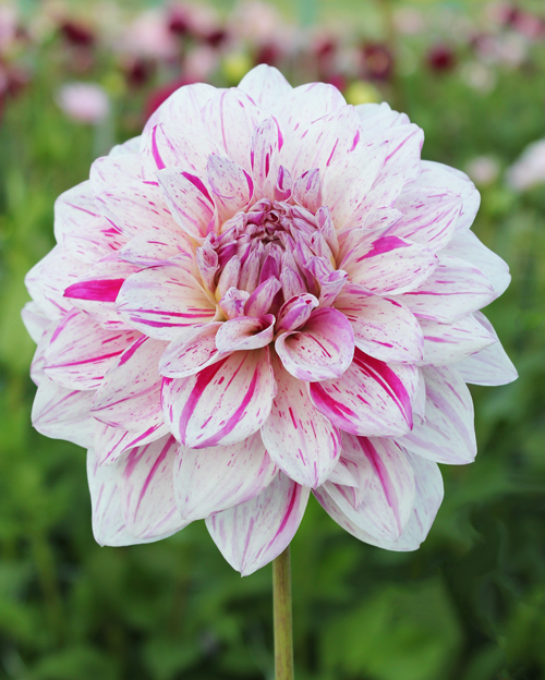 Dahlia Peppermint Splash