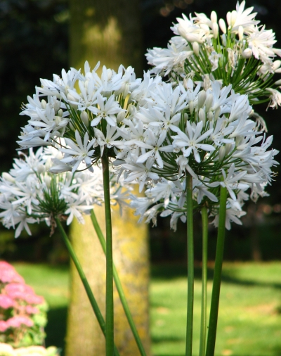 Agapanthus \'Ice Lolly\'