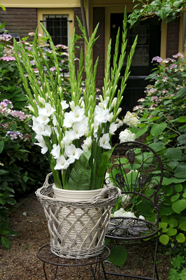 calla lily bulbs planting instructions
