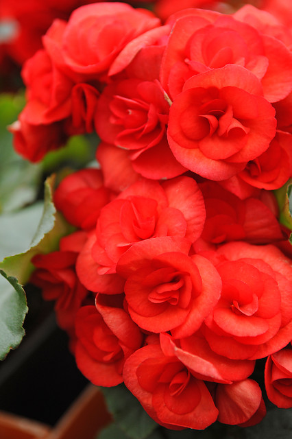 Begonia non-stop Rood