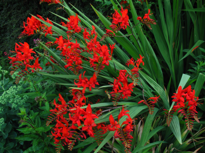 Crocosmia \'Lucifer\'