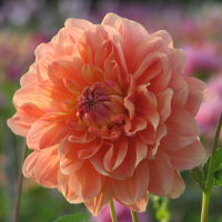 Dahlia Ace Summer Sunset