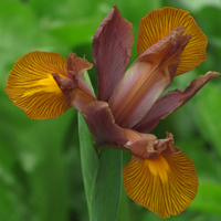 Iris Autumn Princess