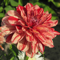 Dahlia Babylon Bronze Flamed