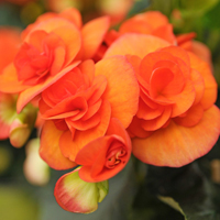 Begonia non-stop Orange