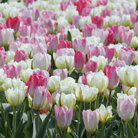Tulip Mix Spring Love