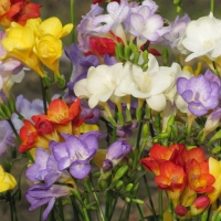 All colours of Freesias