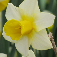 Narcis Golden Echo