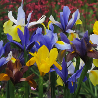 Hollandse Iris Mix