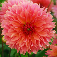 Dahlia Orange Fubuki