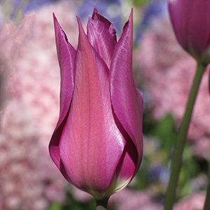 Tulip Purple Dream