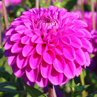 Dahlia Purple Fox