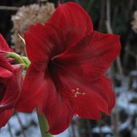 Amaryllis Red Pearl