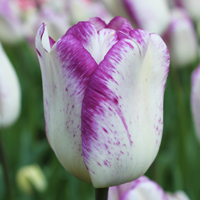 Tulp Shirley