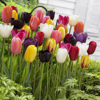 May Flowering Single Late Tulip Mix