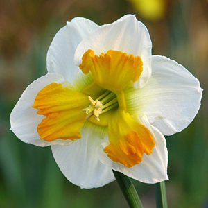 Daffodil Tricollet