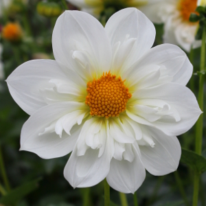 Dahlia Twyning's White Chocolate
