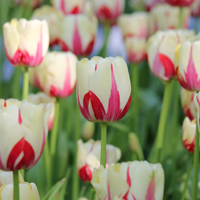 Tulip World Expression