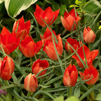 Tulipa batalinii Red Gem
