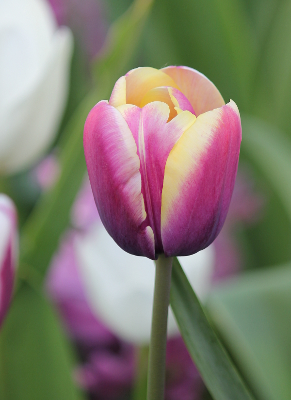 Tulip Arabian Beauty