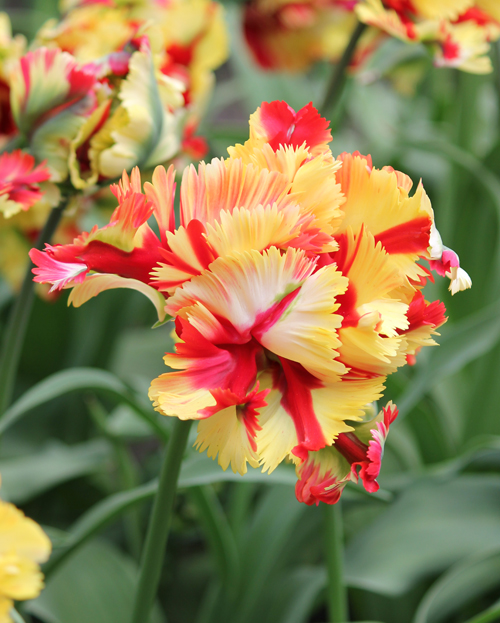 Double Flaming Parrot | Tulips | Pinterest