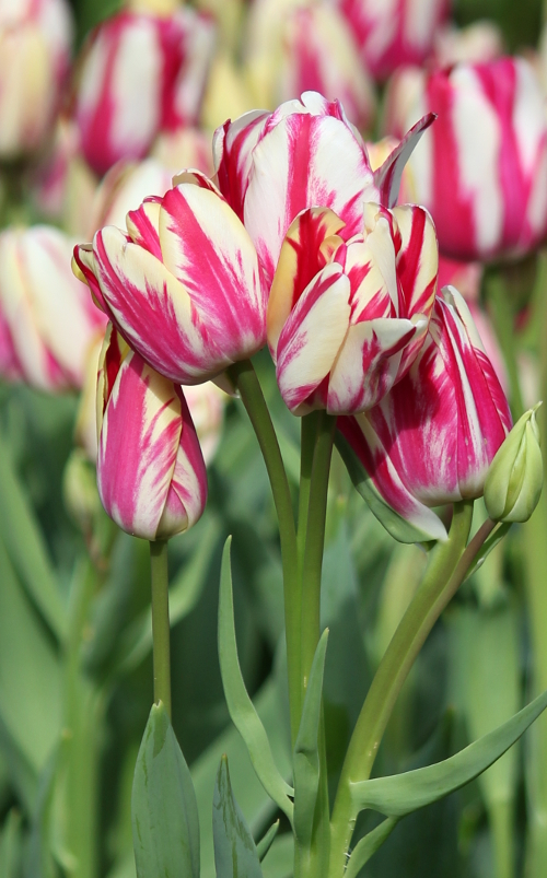 Tulip Flaming Club