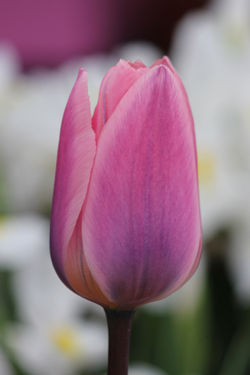 Tulp Light and Dreamy