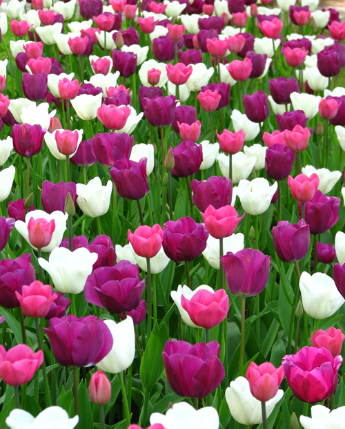 Tulips Purple, White and Pink