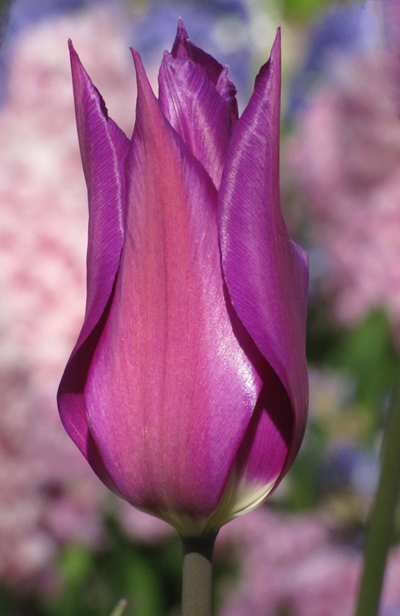 Tulp Purple Dream