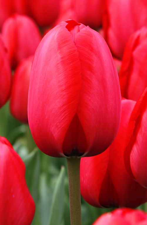tulip red impression quality flower bulbs youtulipcouk