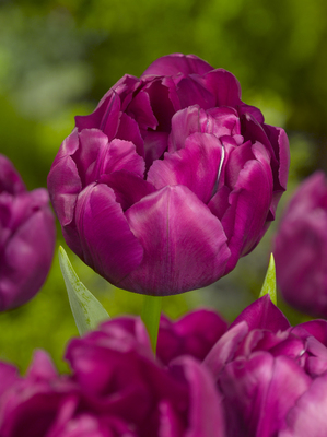 Tulp Royal Acres