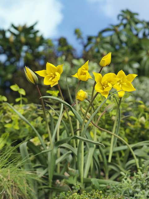 Tulipa sylvestris - The Woodland tulip