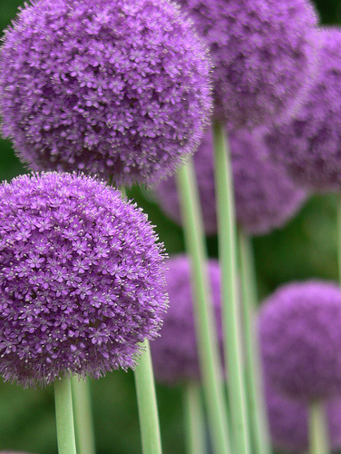 allium giganteum quality flower bulbs. Black Bedroom Furniture Sets. Home Design Ideas