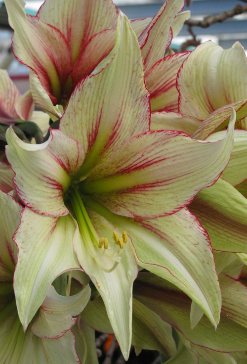 Amaryllis Magic Green