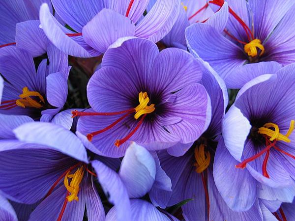 Crocus Sativus Quality Flower Bulbs Youtulip Co Uk