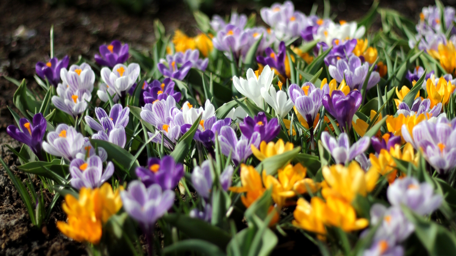 Mixed Crocuses