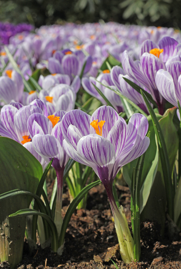 Crocus Striped Beauty