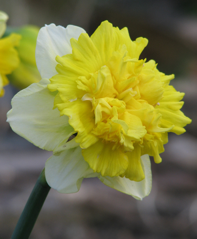 Daffodil Full House