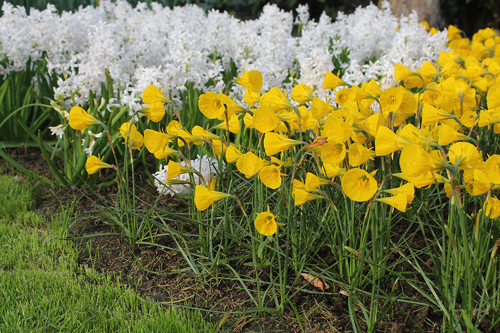 Narcis bulbocodium Oxford Gold