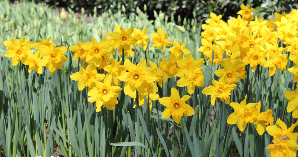 Daffodil Rijnvelds Early Sensation