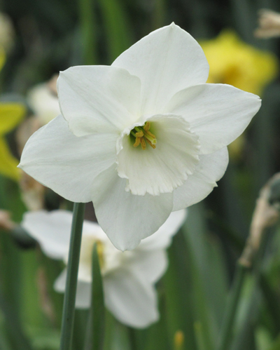 Daffodil Stainless