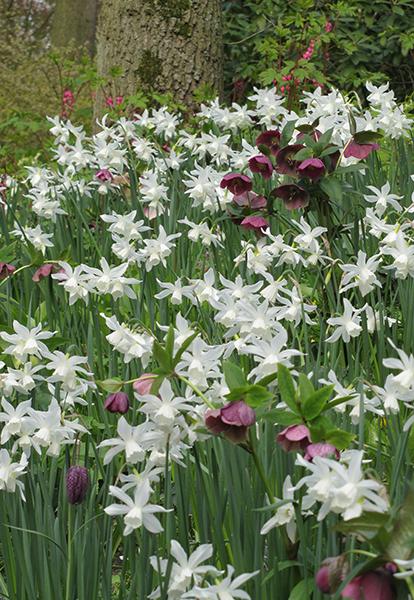Daffodil Thalia Quality Flower Bulbs Youtulip Co Uk