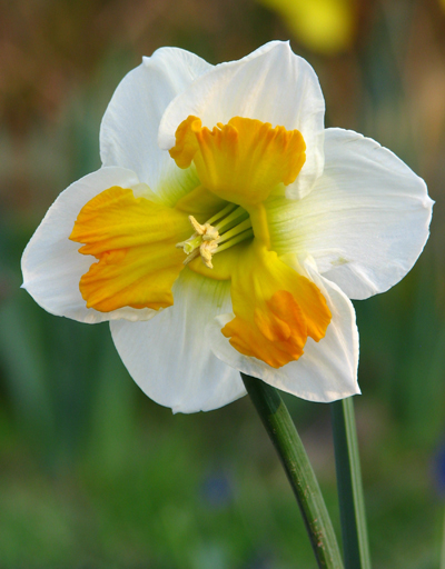 Narcis Tricollet