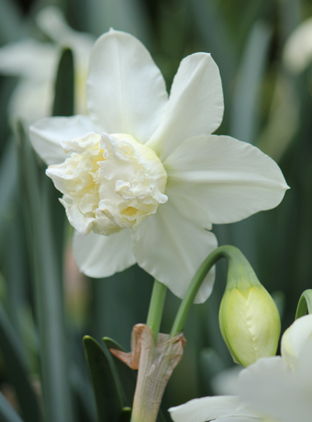 Daffodil White Marvel